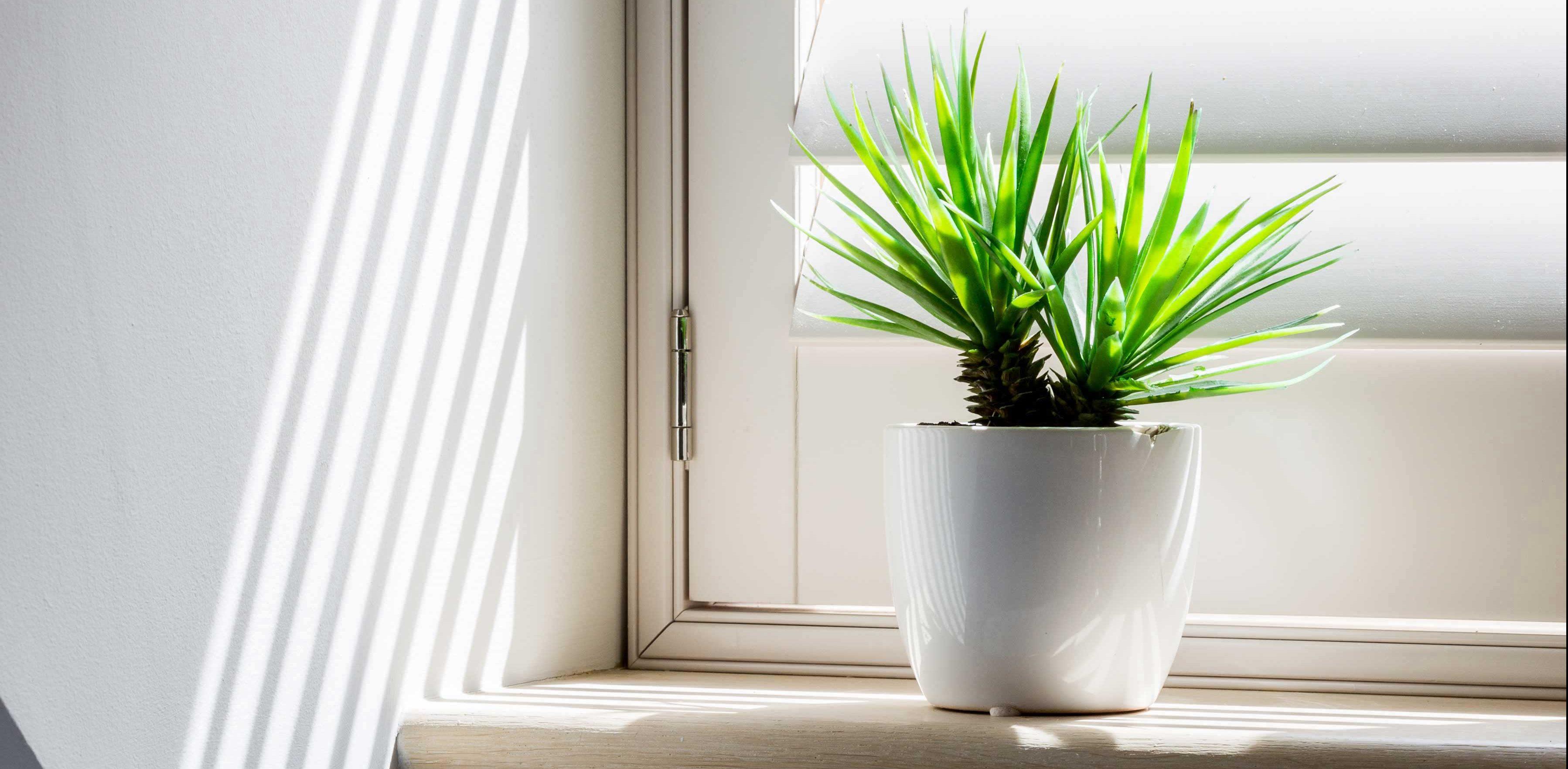 Bathroom Plants - Yucca